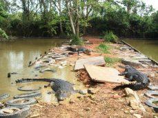 buaya muara (crocodylus porosus) ini panjangnya sekitar 4 m