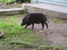 Babi hutan turut mengunjungi Tugu O KM :)